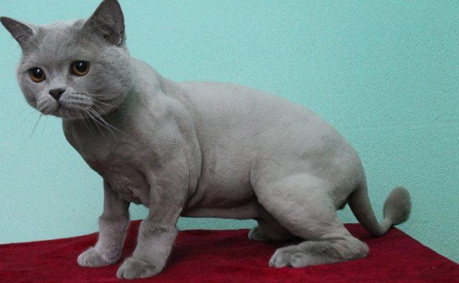 стрижка кот в сапогах